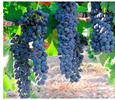 Viñedos uva monastrell Bodegas Bleda